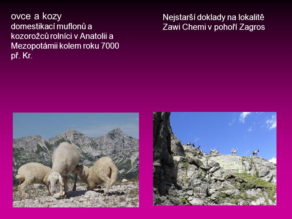 ovce a kozy Nejstarší doklady na lokalitě Zawi Chemi v pohoří Zagros