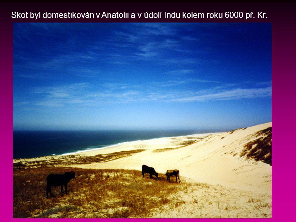 Skot byl domestikován v Anatolii a v údolí Indu kolem roku 6000 př. Kr.