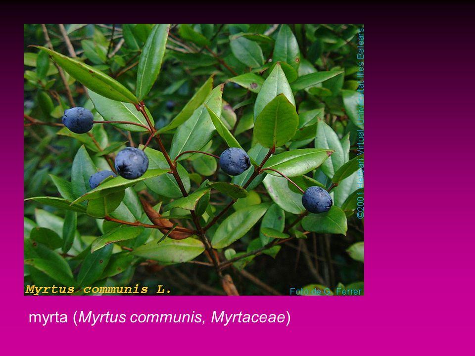 myrta (Myrtus communis, Myrtaceae)