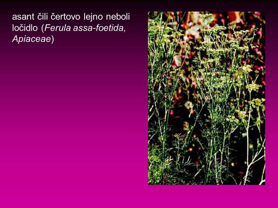 asant čili čertovo lejno neboli ločidlo (Ferula assa-foetida, Apiaceae)