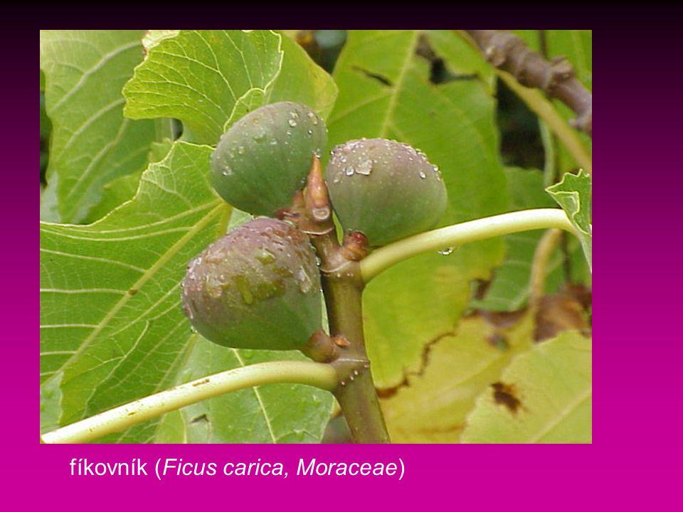 fíkovník (Ficus carica, Moraceae)