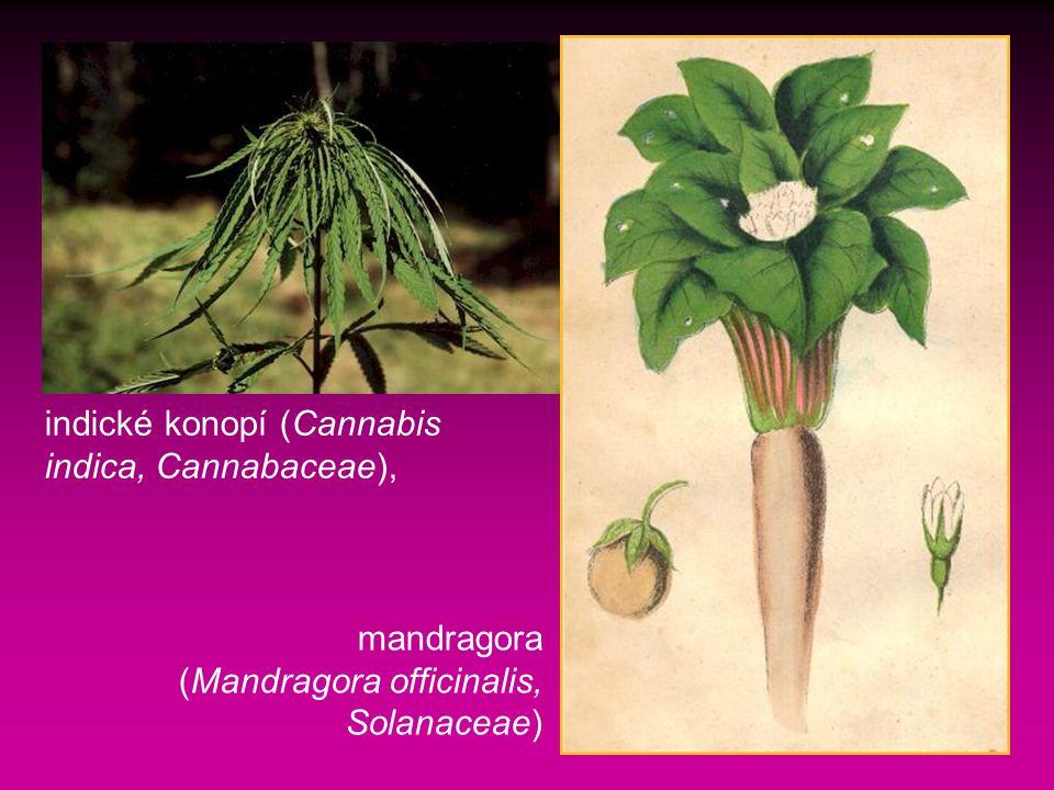 indické konopí (Cannabis indica, Cannabaceae),