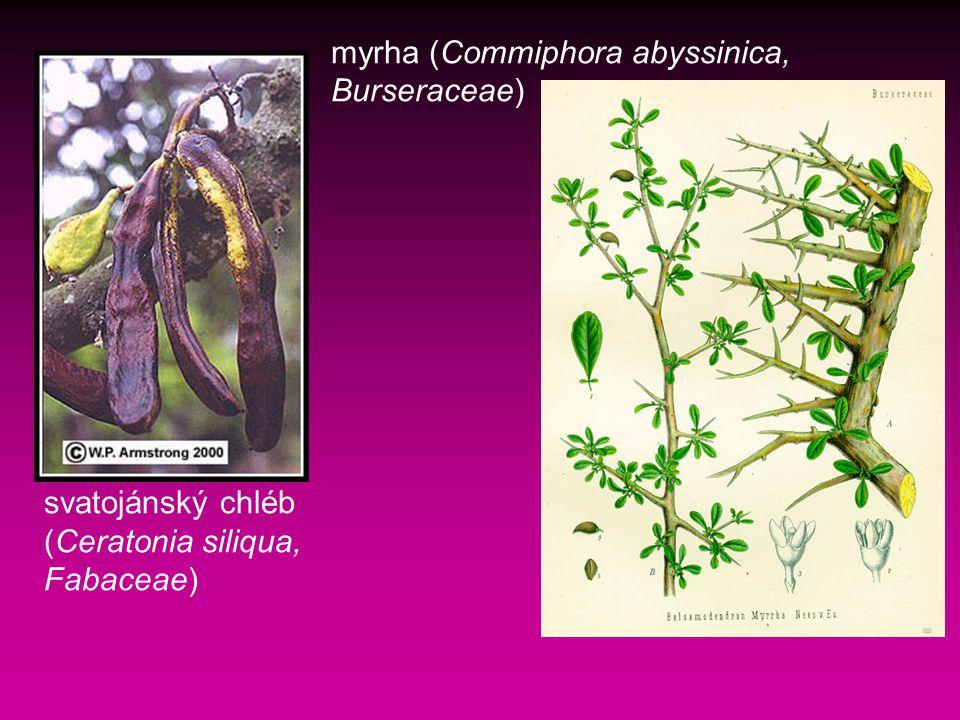 myrha (Commiphora abyssinica, Burseraceae)