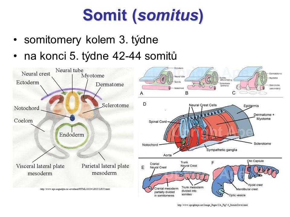 Somit (somitus) somitomery kolem 3. týdne