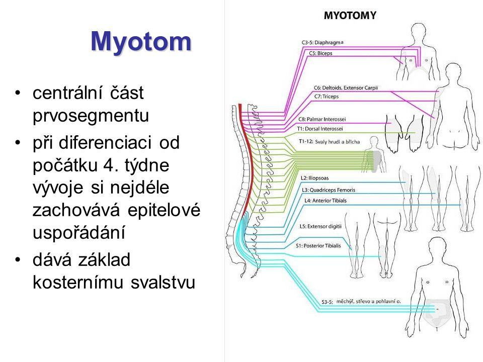 Myotom centrální část prvosegmentu