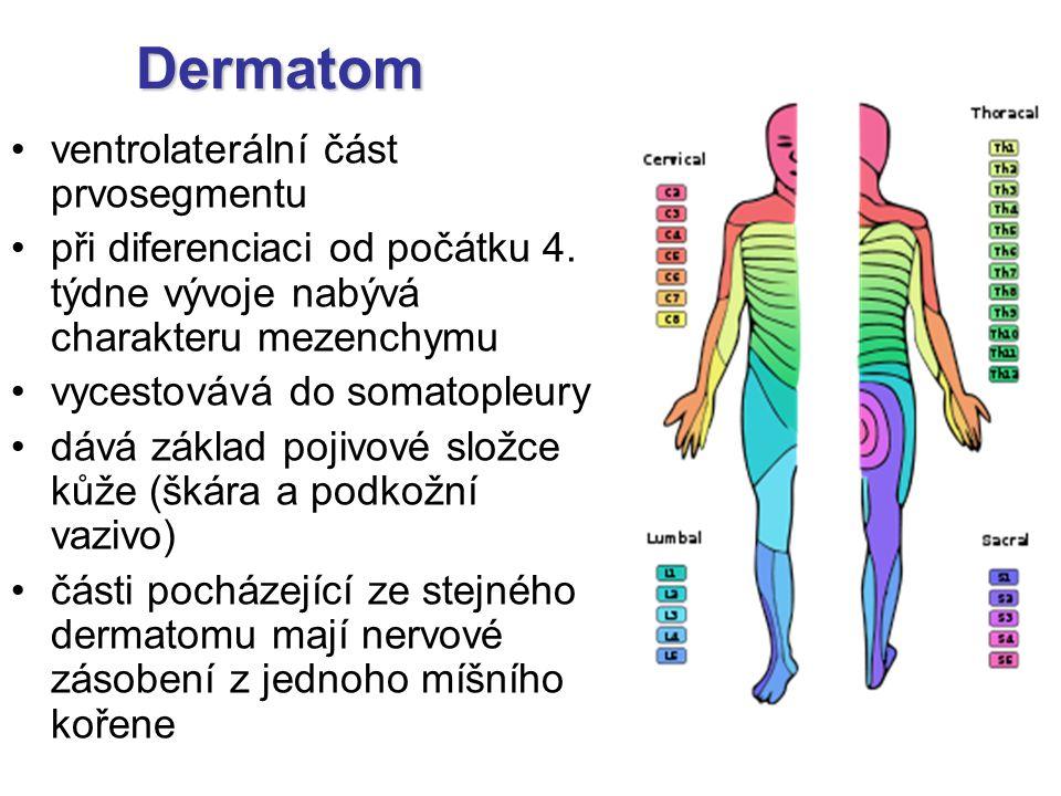 Dermatom ventrolaterální část prvosegmentu