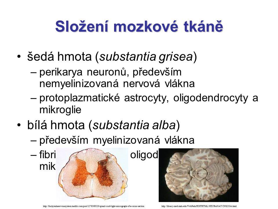 Složení mozkové tkáně šedá hmota (substantia grisea)