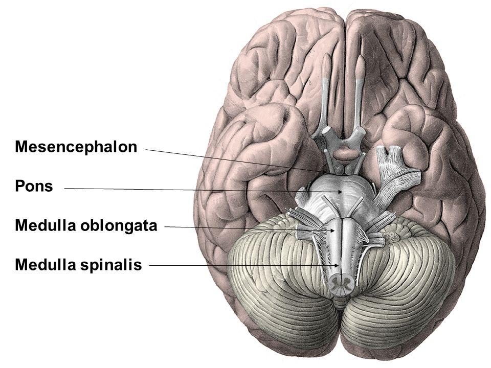 Mesencephalon Pons Medulla oblongata Medulla spinalis