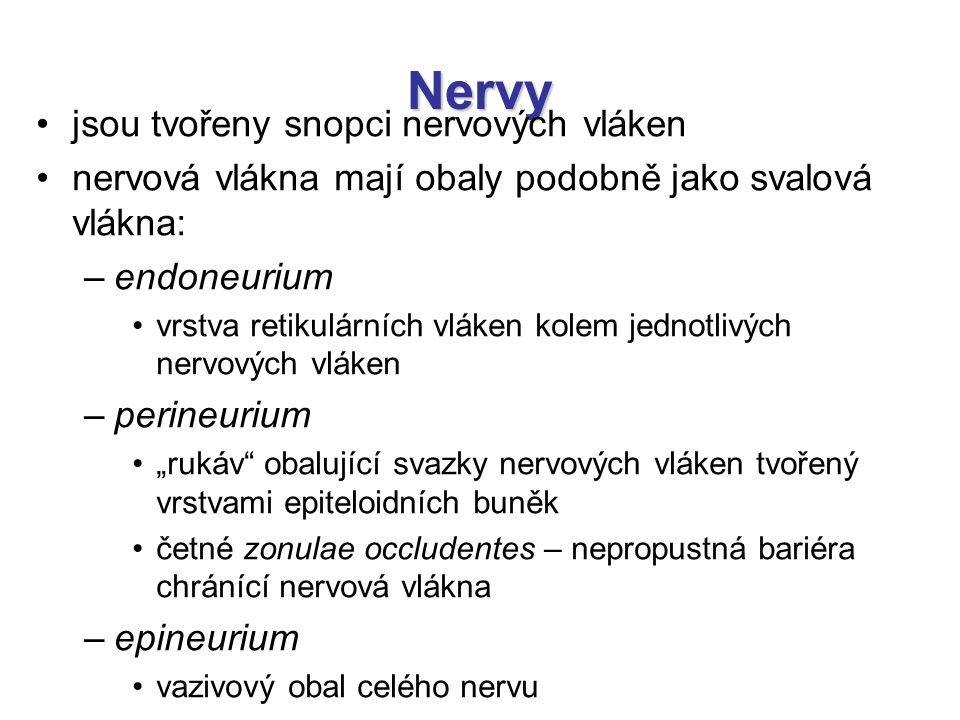Nervy jsou tvořeny snopci nervových vláken