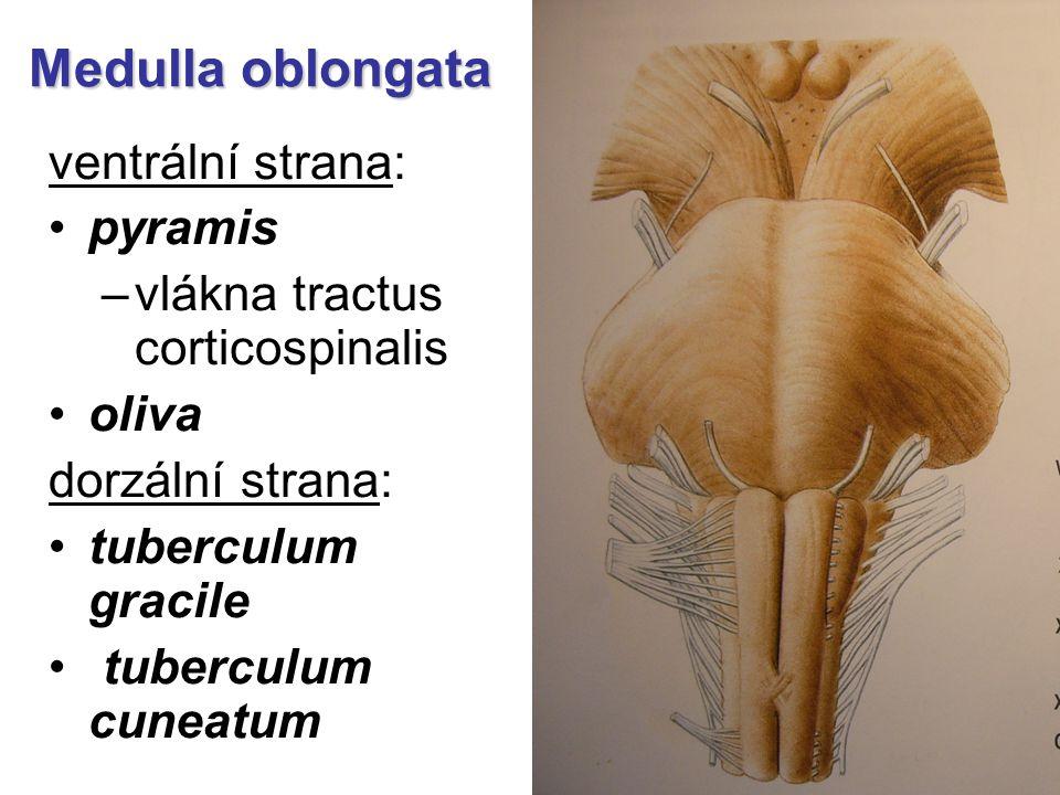 Medulla oblongata ventrální strana: pyramis
