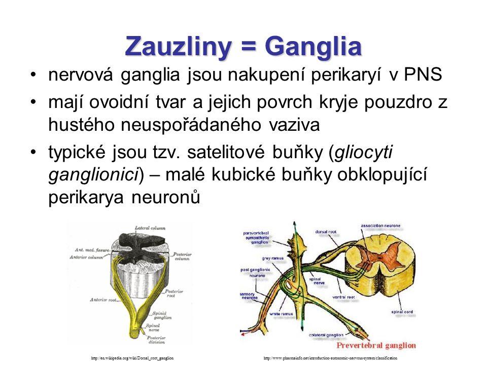 Zauzliny = Ganglia nervová ganglia jsou nakupení perikaryí v PNS