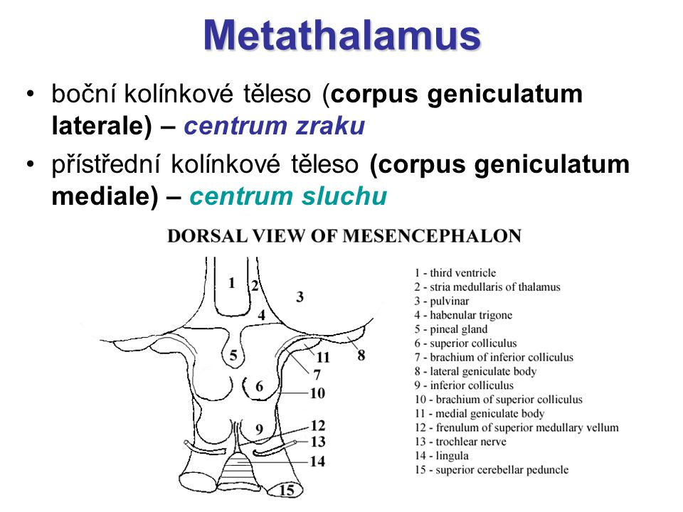 Metathalamus boční kolínkové těleso (corpus geniculatum laterale) – centrum zraku.