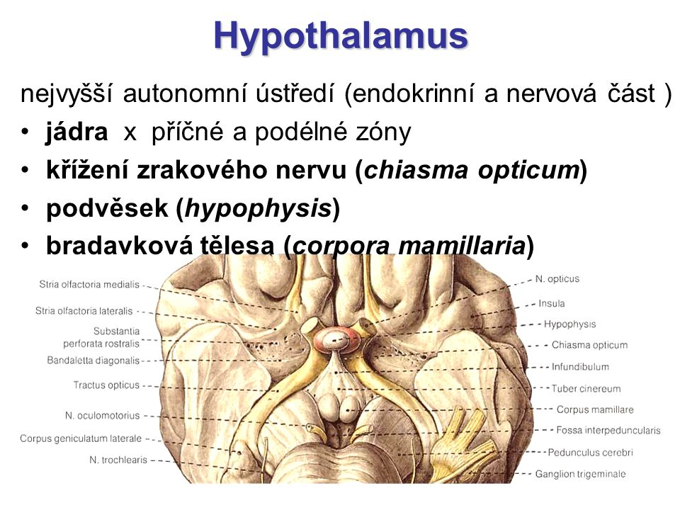 Hypothalamus nejvyšší autonomní ústředí (endokrinní a nervová část )