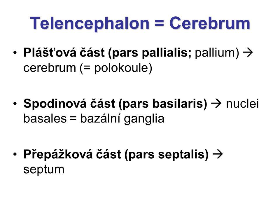 Telencephalon = Cerebrum