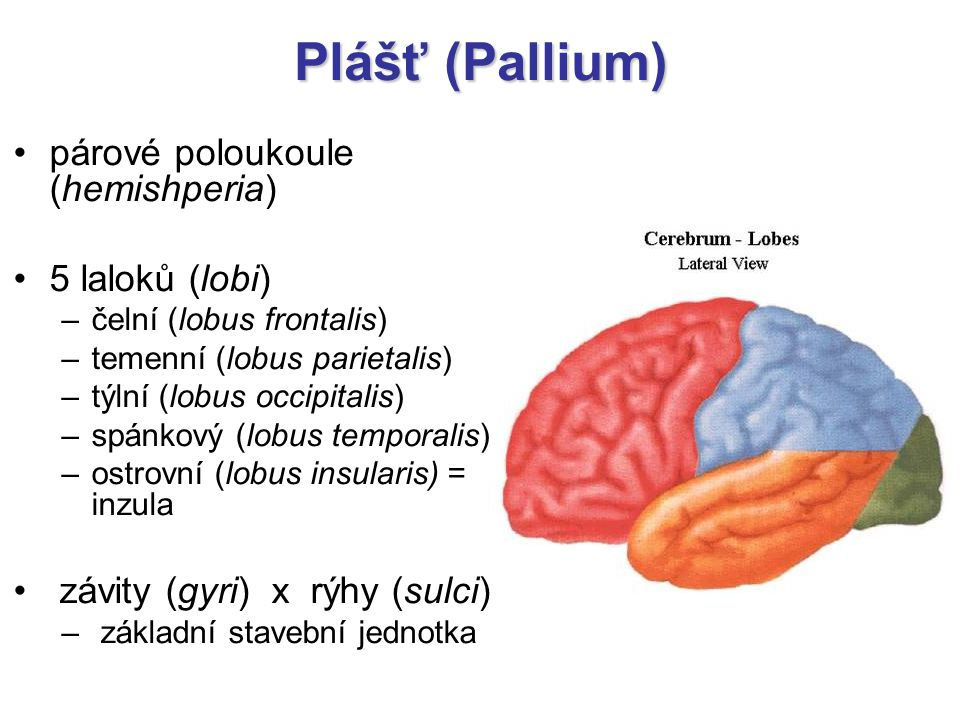 Plášť (Pallium) párové poloukoule (hemishperia) 5 laloků (lobi)