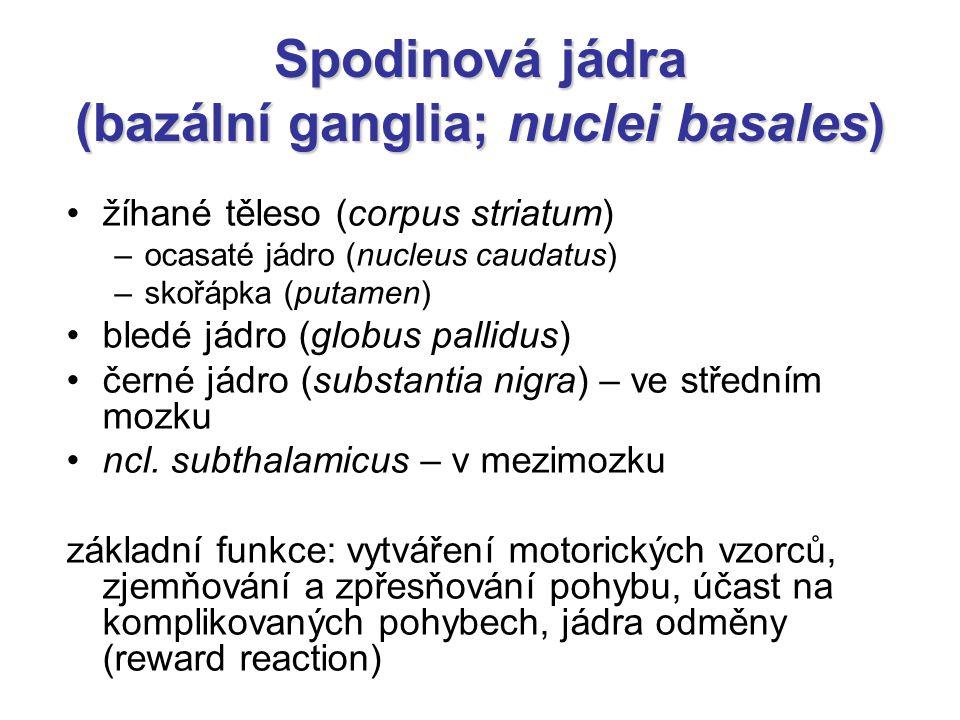 Spodinová jádra (bazální ganglia; nuclei basales)