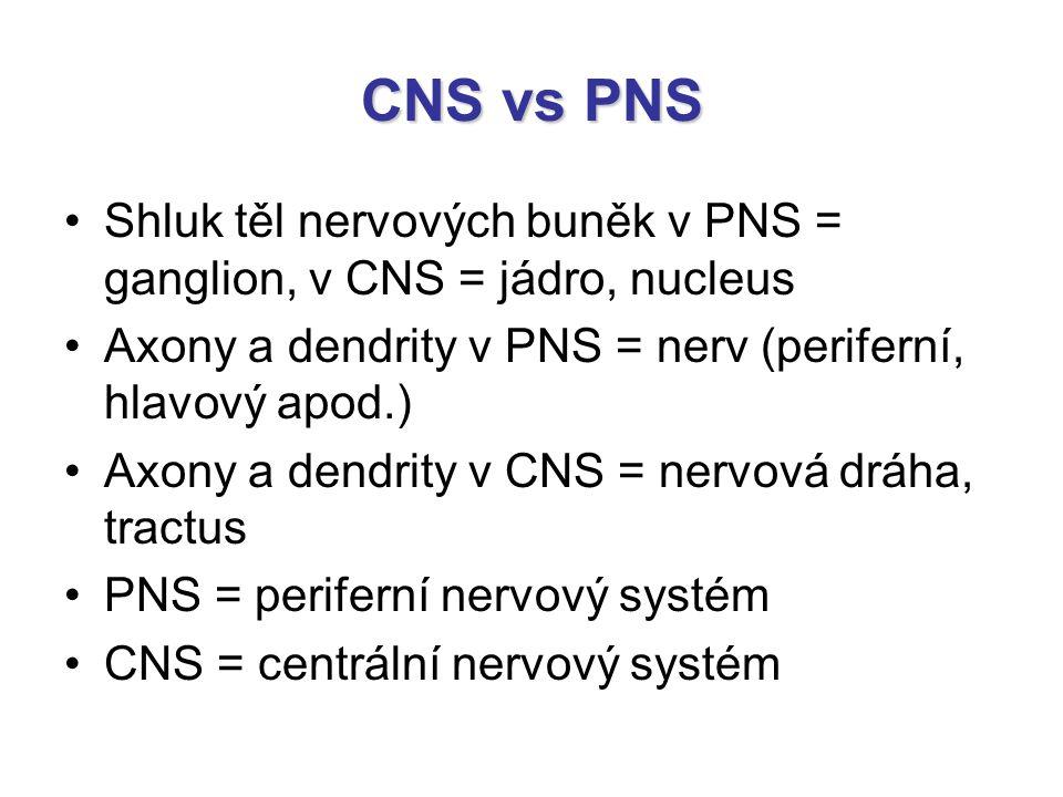 CNS vs PNS Shluk těl nervových buněk v PNS = ganglion, v CNS = jádro, nucleus. Axony a dendrity v PNS = nerv (periferní, hlavový apod.)