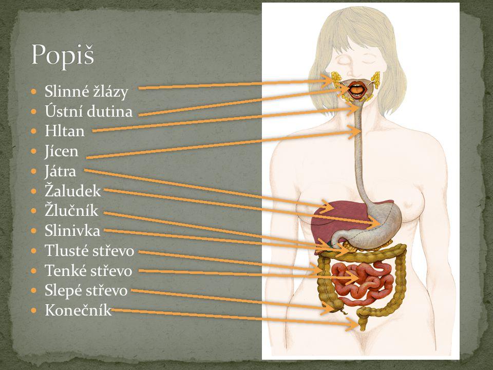 Popiš Slinné žlázy Ústní dutina Hltan Jícen Játra Žaludek Žlučník
