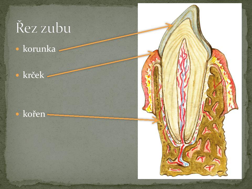 Řez zubu korunka krček kořen