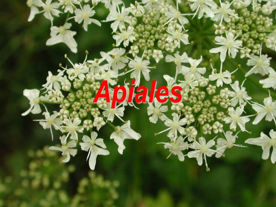 Apiales