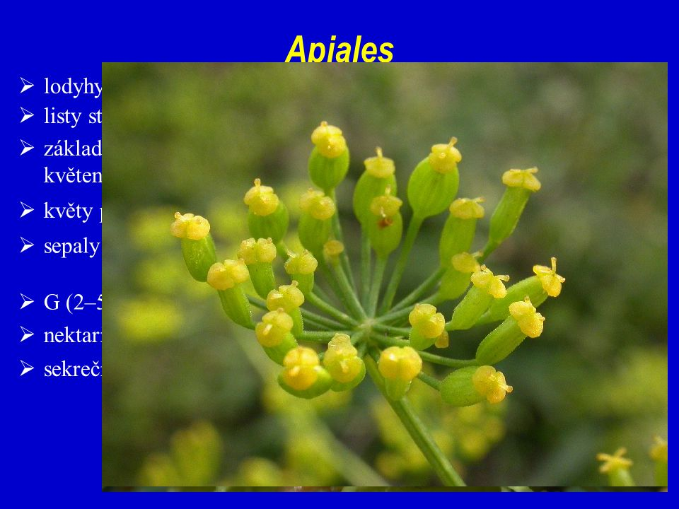 Apiales lodyhy často v oblasti internodií duté
