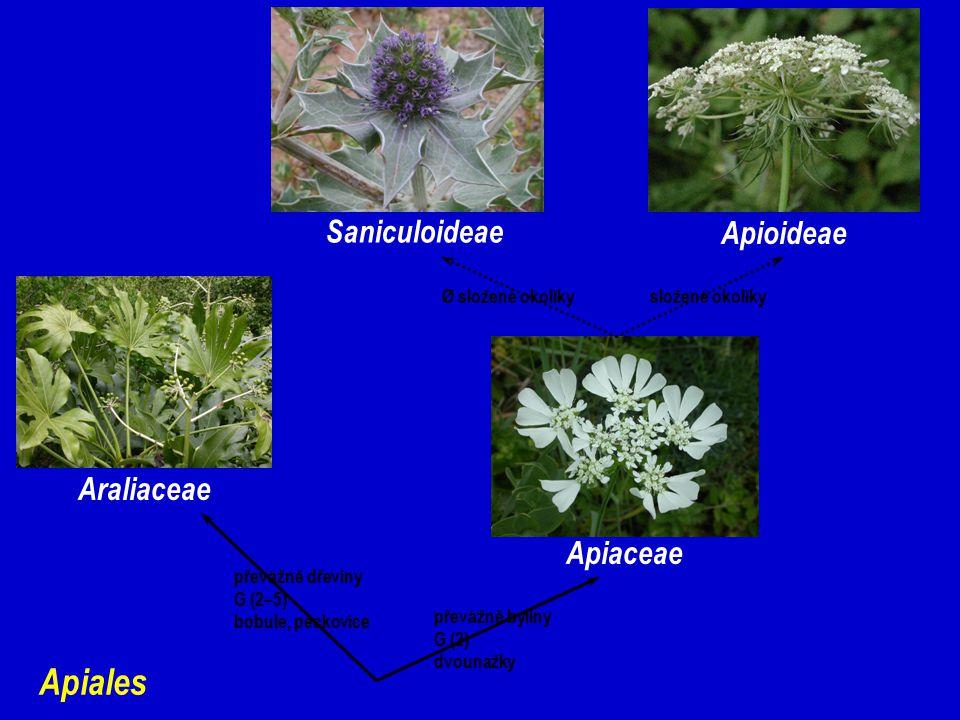 Apiales Saniculoideae Apioideae Araliaceae Apiaceae Ø složené okolíky