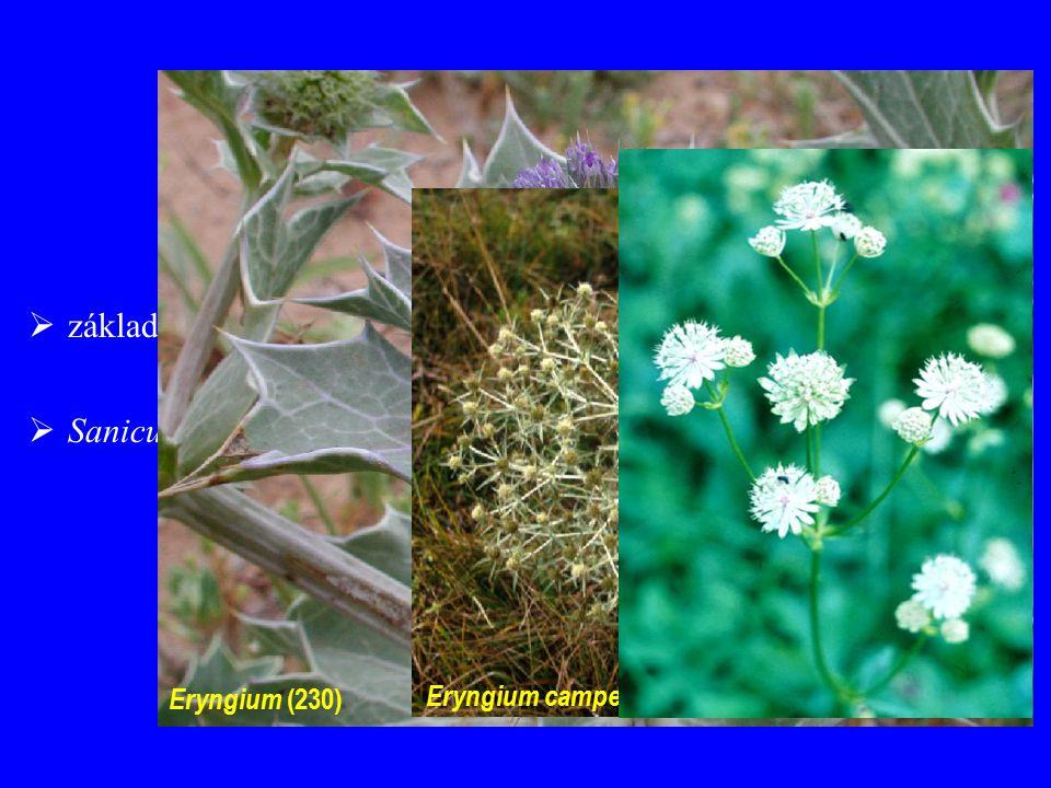 Saniculoideae základní okolíky ± netvoří složený okolík