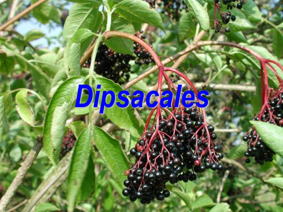 Dipsacales