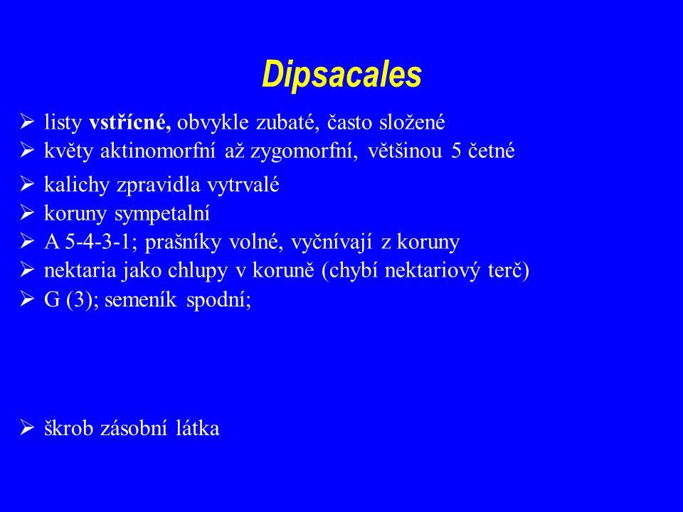 Dipsacales listy vstřícné, obvykle zubaté, často složené