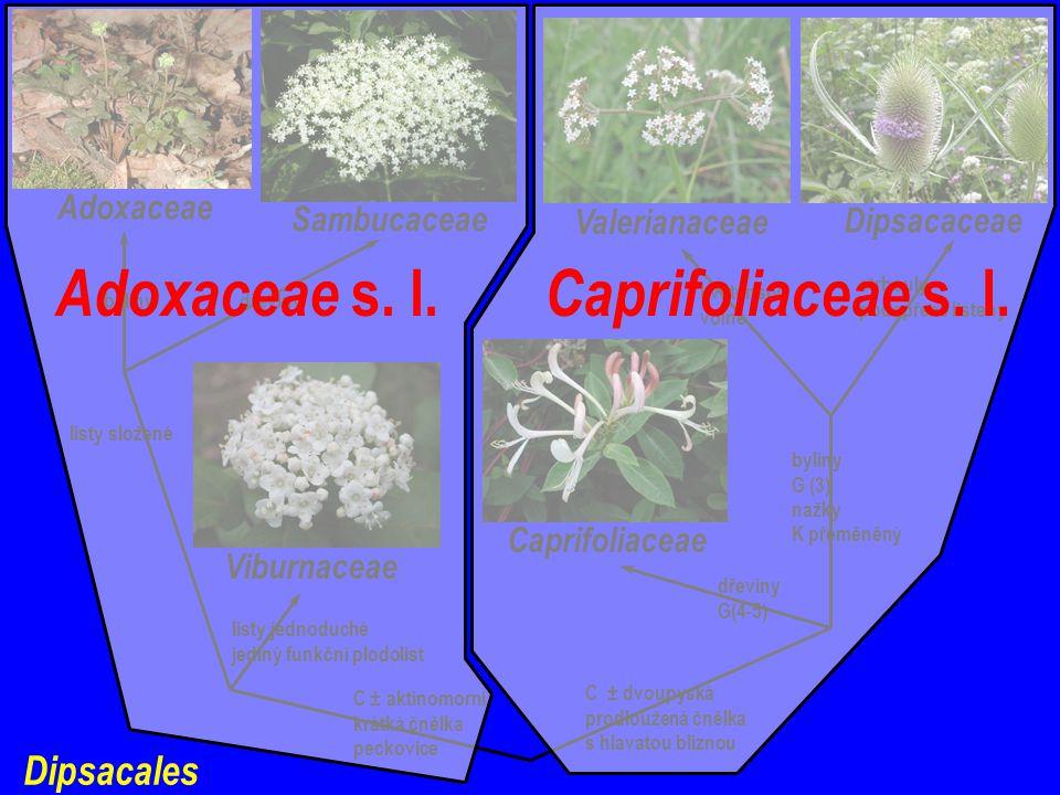 Adoxaceae s. l. Caprifoliaceae s. l.