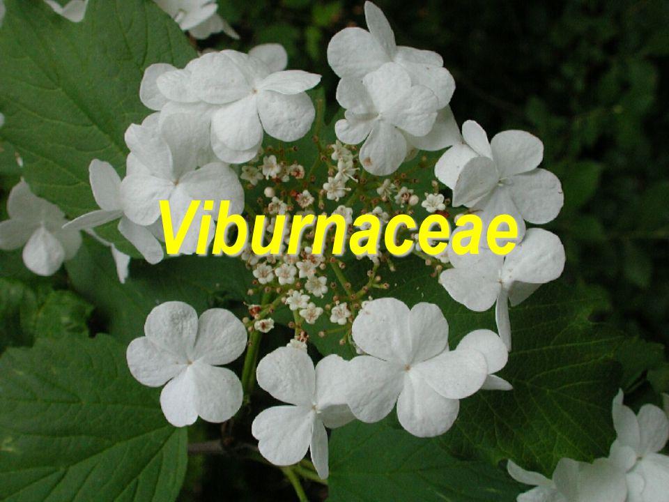 Viburnaceae