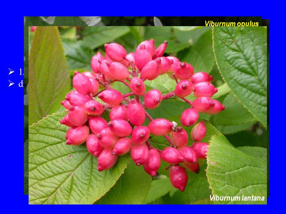Viburnaceae 1/120; severní mírný pás dřeviny Viburnum opulus