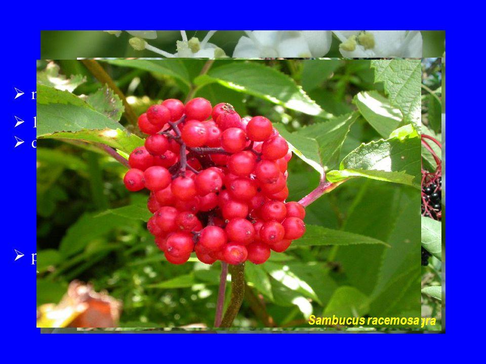 Sambucaceae možnost spojení s Viburnaceae a Adoxaceae