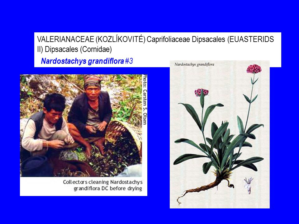 VALERIANACEAE (KOZLÍKOVITÉ) Caprifoliaceae Dipsacales (EUASTERIDS II) Dipsacales (Cornidae)