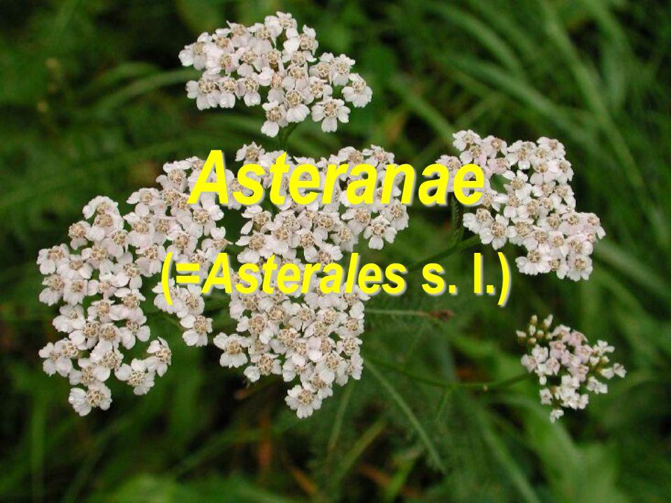 Asteranae (=Asterales s. l.)