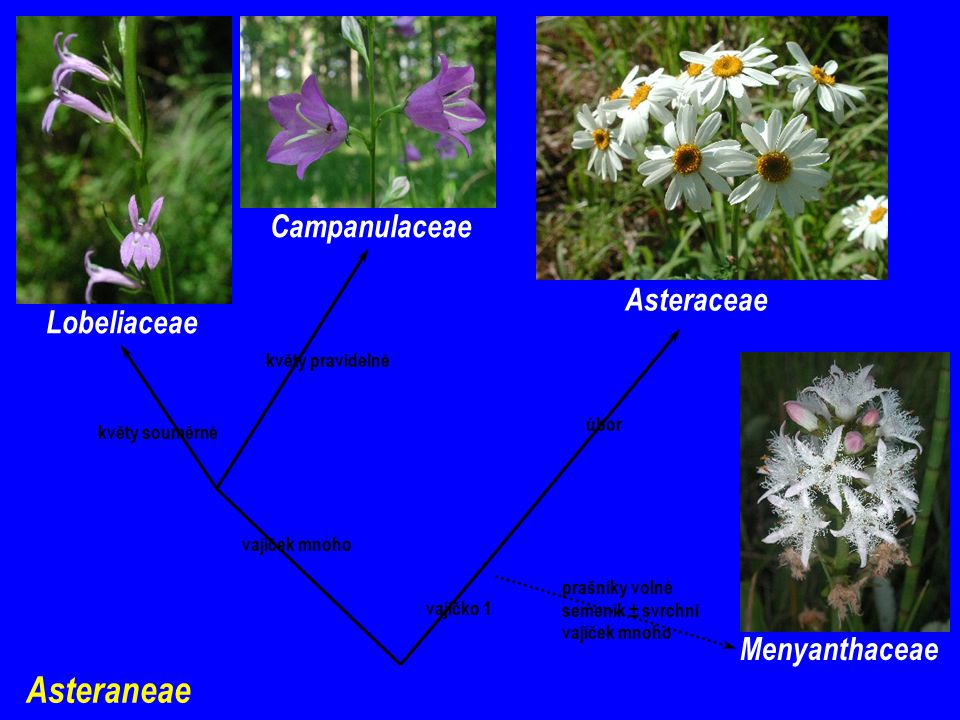Asteraneae Campanulaceae Asteraceae Lobeliaceae Menyanthaceae