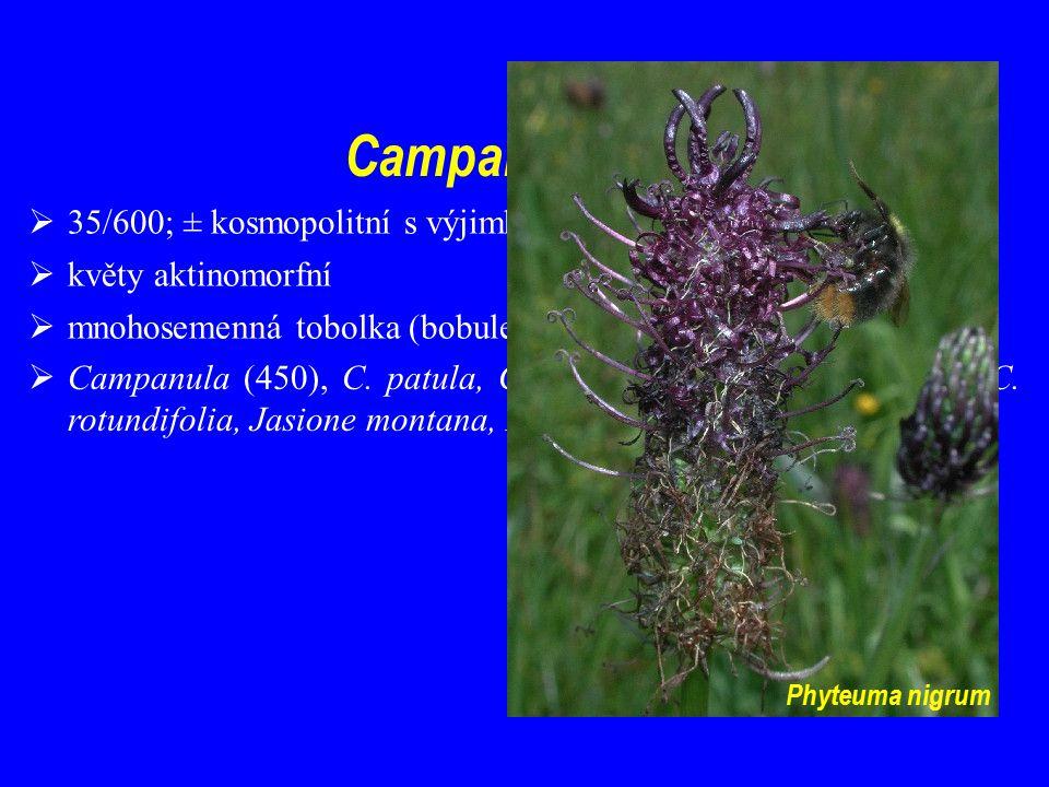 Campanulaceae 35/600; ± kosmopolitní s výjimkou tropické Afriky