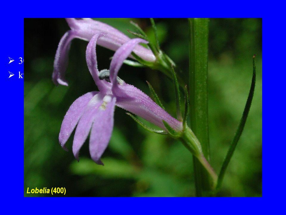 Lobeliaceae 30/1200; centrum diverzity zejména v Americe a v tropech