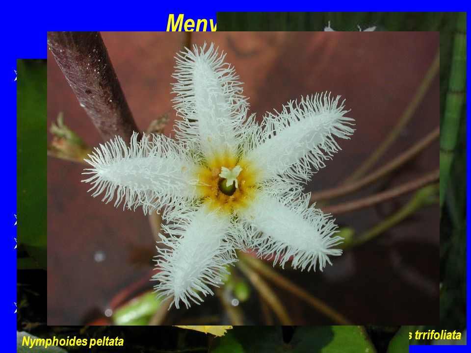 Menyanthes trrifoliata