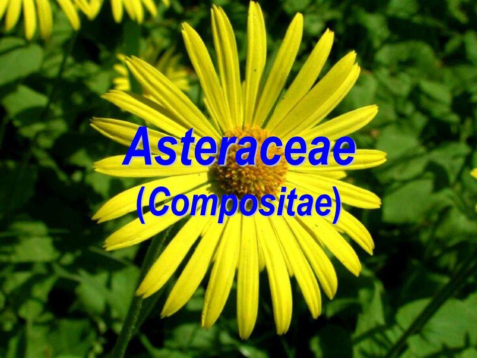 Asteraceae (Compositae)