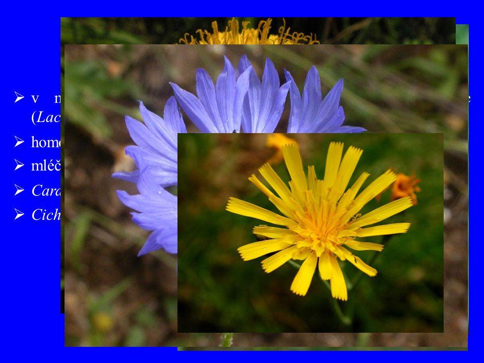 """""""Cichorioideae v minulosti odlišné vymezení všechny květy jazykovité (Lactucoideae, Liguliflorae)"""