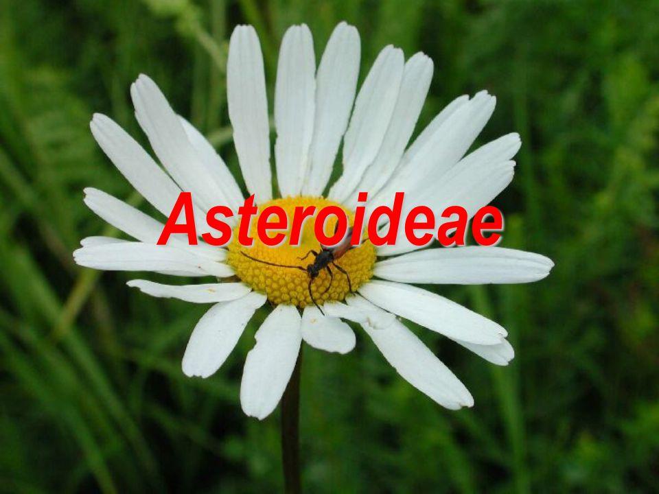 Asteroideae