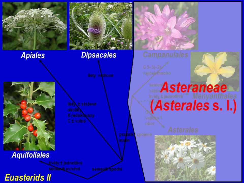 Asteraneae (Asterales s. l.)