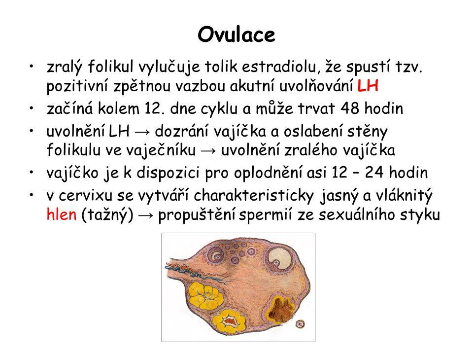 Ovulace zralý folikul vylučuje tolik estradiolu, že spustí tzv. pozitivní zpětnou vazbou akutní uvolňování LH.