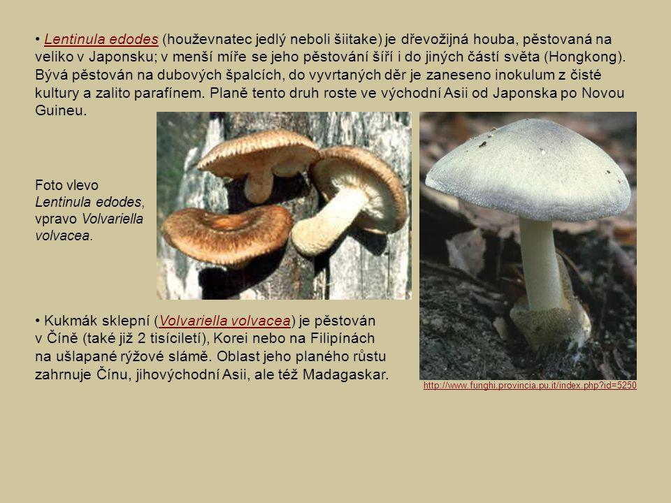 • Lentinula edodes (houževnatec jedlý neboli šiitake) je dřevožijná houba, pěstovaná na veliko v Japonsku; v menší míře se jeho pěstování šíří i do jiných částí světa (Hongkong). Bývá pěstován na dubových špalcích, do vyvrtaných děr je zaneseno inokulum z čisté kultury a zalito parafínem. Planě tento druh roste ve východní Asii od Japonska po Novou Guineu.