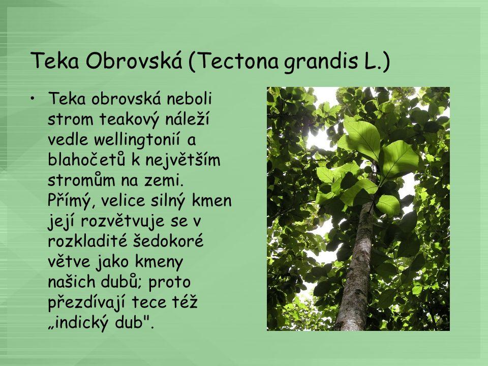 Teka Obrovská (Tectona grandis L.)