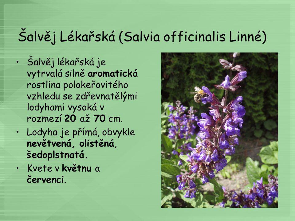 Šalvěj Lékařská (Salvia officinalis Linné)