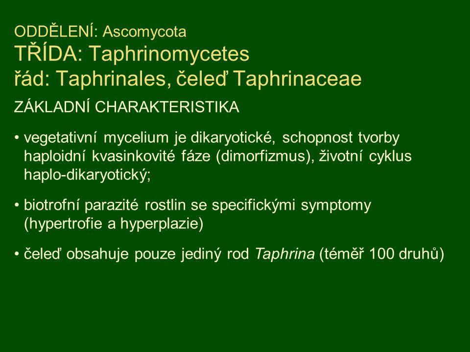 ODDĚLENÍ: Ascomycota TŘÍDA: Taphrinomycetes řád: Taphrinales, čeleď Taphrinaceae