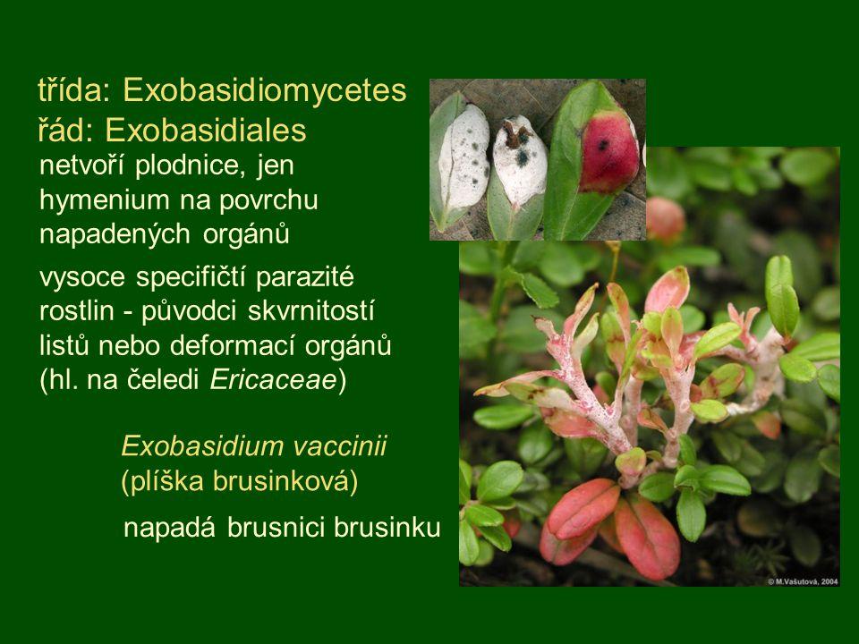 třída: Exobasidiomycetes řád: Exobasidiales