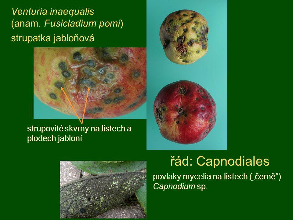 řád: Capnodiales Venturia inaequalis (anam. Fusicladium pomi)
